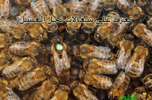 شغالات نحل العسل, العسل, نحلة العسل, موقع نحلة, انواع النحل