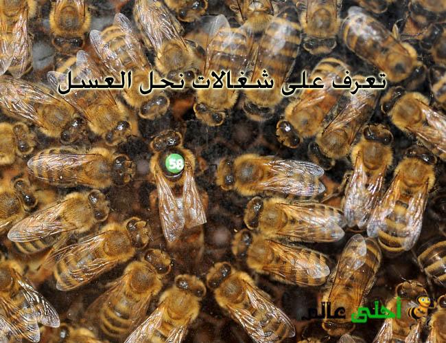 شغالات نحل العسل الأعمال الداخلية الأولية التي تقوم بها