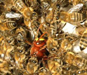 حراسة الخلية و الدفاع عنها النحلة جندية شجاعة