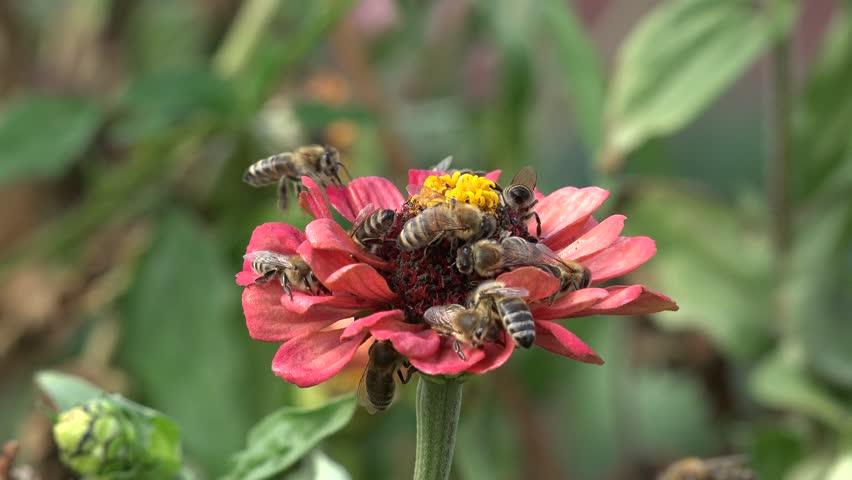 أكثر من نحلة تجمع الرحيق من زهرة واحدة