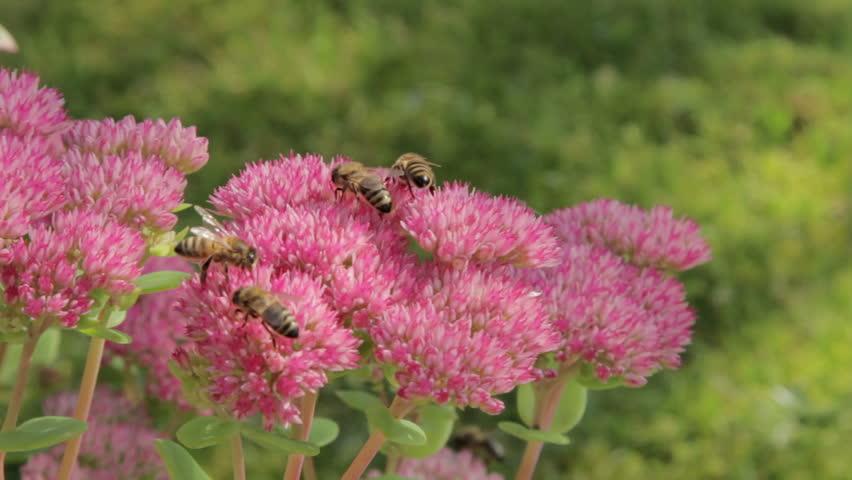 جمع الرحيق من أهم الأعمال الخارجية لشغالات نحل العسل