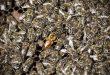 فرمونات ملكة النحل و أهميتها في تنظيم حياة طائفة نحل العسل