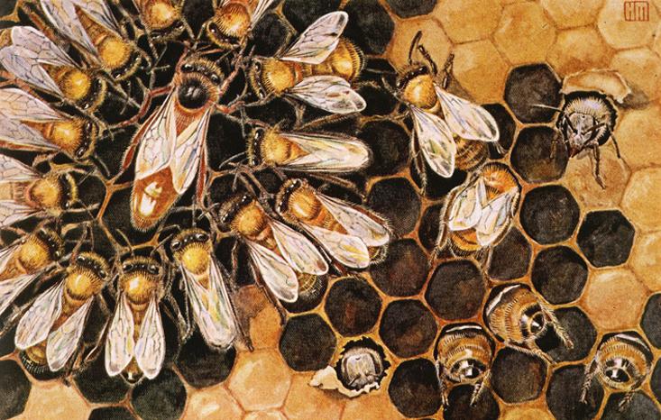 ملكة النحل ميزاتها صفاتها و دورة حياتها و نمط معيشتها