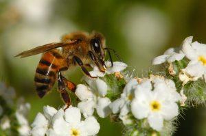 شغالة نحل العسل اهم افراد طائفة النحل