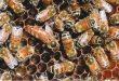 وضع ملكة النحل البيض أنواعه آليته مواصفاته والعوامل المؤثرة فيه
