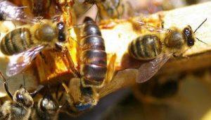 التلقيح الطبيعي لملكة النحل والانتخاب الطبيعي ضمان لبقاء النحل و تطوره