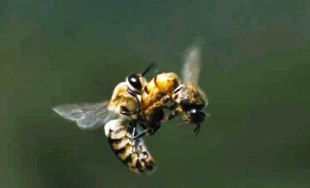 التلقيح الطبيعي لملكة النحل اثناء الطيران