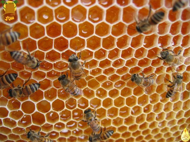 اعمال شغالة نحل العسل انضاج الرحيق