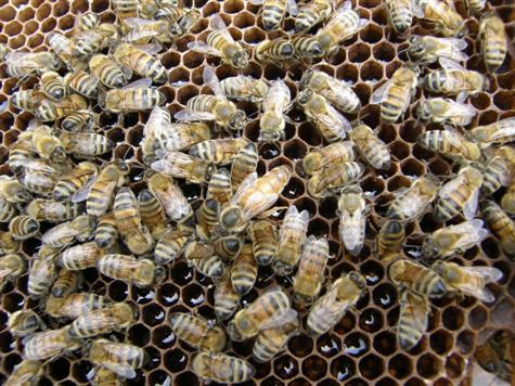 المادة الفرمونية لملكة النحل و أهميتها في تنظيم حياة طائفة نحل العسل المقال الثاني