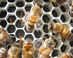 طريقة وضع ملكة النحل البيض داخل النخروب الشمعي