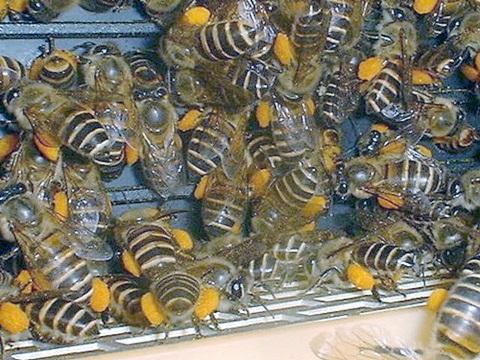 نحلة العسل جمع غبار الطلع
