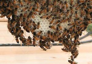 نحلة العسل افراز الشمع و بناء الاساسات الشمعية