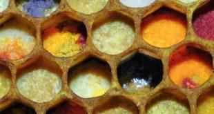 نحلة العسل الاعمال الداخلية تخزين حبوب اللقاح و افراز الشمع و بناؤه