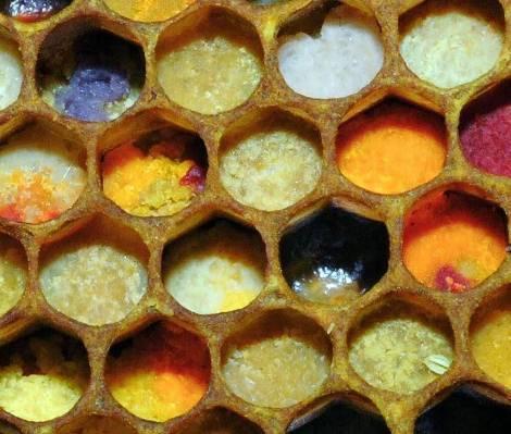 pollenنحلة العسل الاعمال الداخلية تخزين حبوب اللقاح و افراز الشمع و بناؤه
