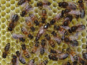 ملكة النحل تمارس نشاطها في وضع البيض و ممارسة وظائفها