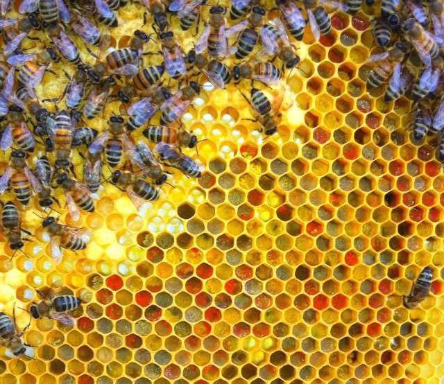 خبز النحل الوانه تشكله و تكونه من غبار الطلع