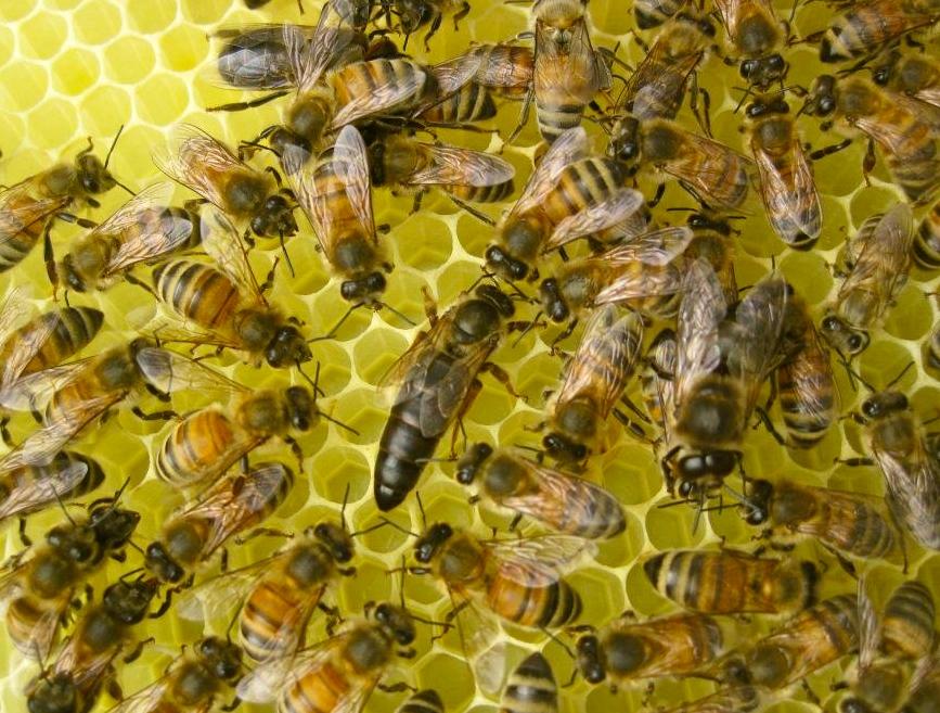 سلالات نحل العسل السنجابي الكرينيولي