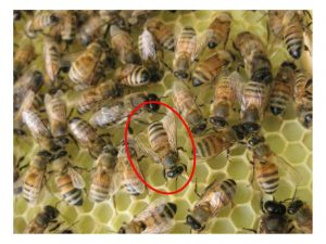 رقص النحل احد لغة التواصل في طائفة النحل