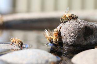 شغالة النحل الصهريج عند جمعها للماء
