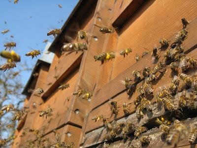 عودة شغالات النحل الى خليتها بعد امتلاء سلة حبوب اللقاح  بغبار الطلع