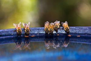 تخزين النحل للماء طرقه و استخدامه و جمع الماء من المصادر الطبيعية