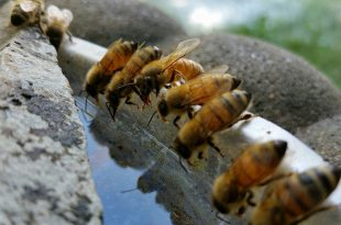 جمع النحل للماء و الوظائف الأساسية للماء في حياة النحل