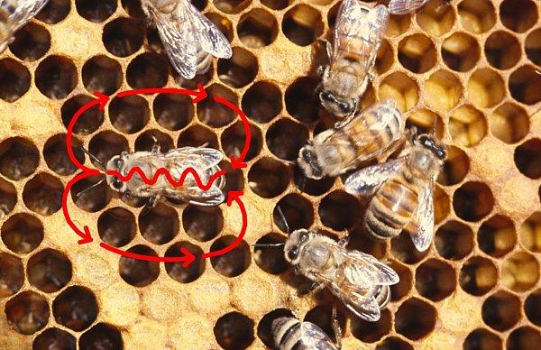 لغة تواصل النحل داخل طائفة النحل طرقها و انواعها لغة الرقص