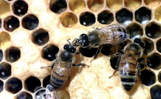 رقص النحل التنظيفي حيث تنظف الشغالات بعضها البعض