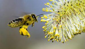 الأعمال الخارجية لشغالة نحل العسل السارحة جمع غبار الطلع
