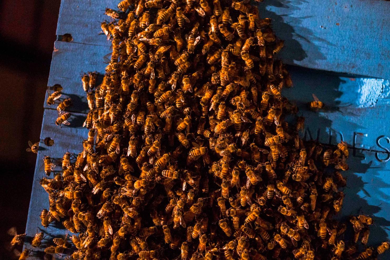 سلالات نحل العسل الاصفر الاوروبي