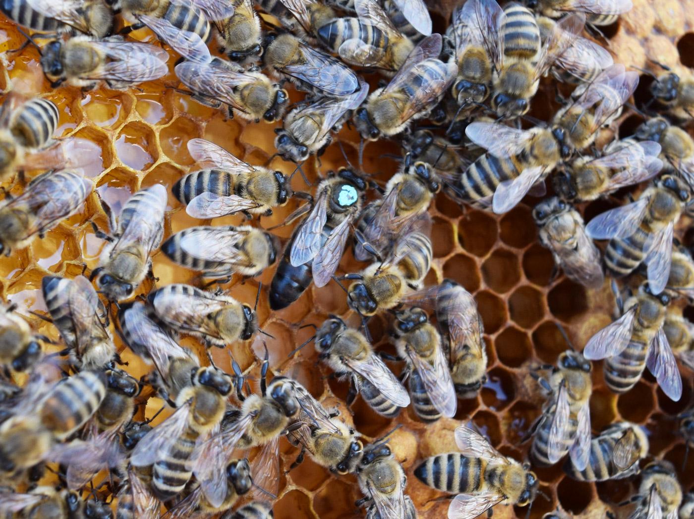 سلالات نحل العسل الاسود الاوروبي و الافريقي