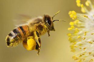 حبوب اللقاح تجمعه شغالات النحل من اجل حياة خليتها
