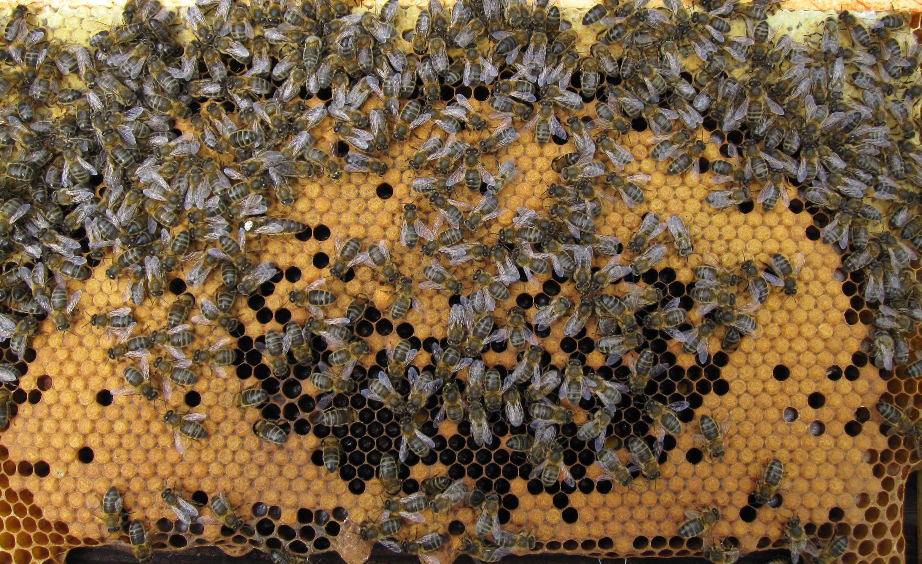 لغة التواصل بين النحل اللغة الكيميائية و اللغة الصوتية و لغة التلامس