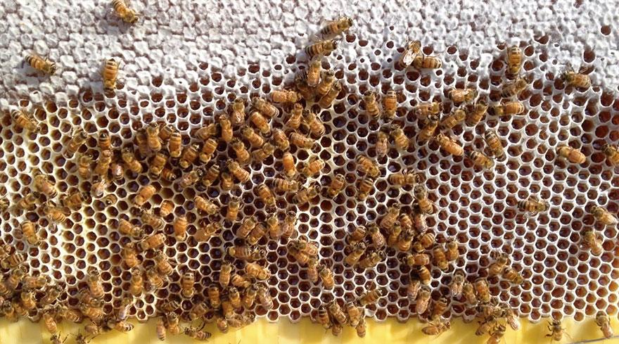 الأحماض بالعسل منشأها من مفرزات النحلة