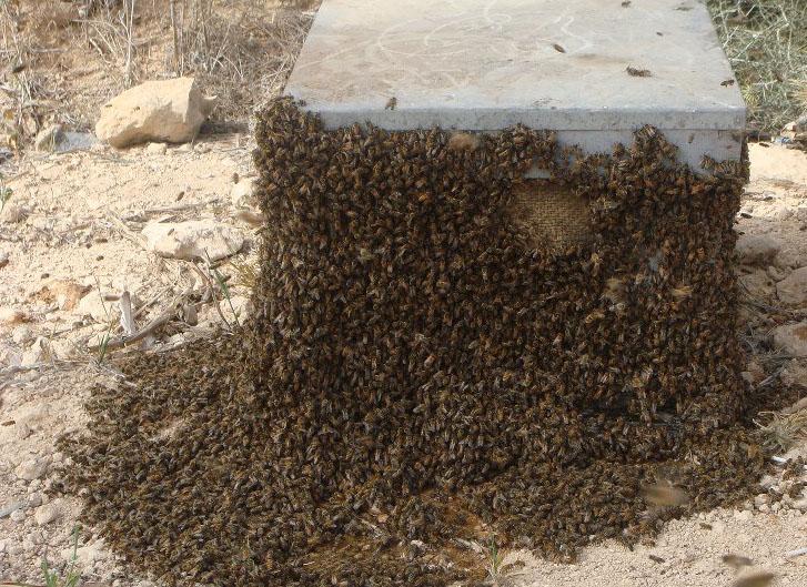 التطريد في النحل أهدافه أوقاته أسبابه كيفية حدوثه