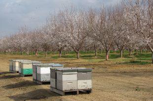 الأعمال النحلية في الربيع المبكر شهر آذار لاحظ تفتح أزهار اللوزيات باكرا