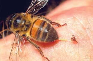 سم النحل لونه وصفاته مكوناته مصدره اهم المركبات الاساسية فيه