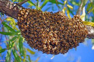 علامات تطريد النحل,ظاهرة تطريد النحل,تطريد النحل,تقسيم النحل,ملكة النحل,