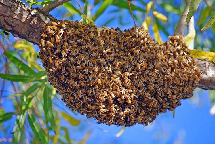 علامات تطريد النحل الداخلية و الخارجية و آلية حدوثه