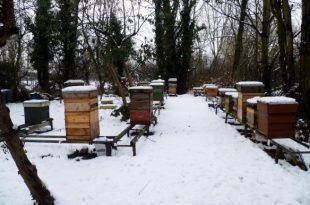 الأعمال النحلية في الشتاء التي يقوم بها النحال لاحظ خلايا النحل مغطاة بالثلج