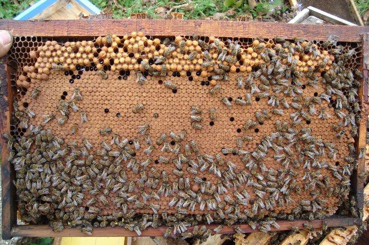 حضنة ذكر النحل و دةرة حياته