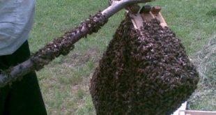 إيقاف طرود النحل و كيفية إدخالها إلى خلية النحل