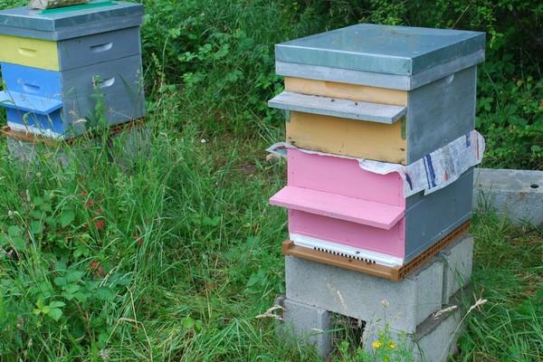 ضم طوائف النحل أسبابه طرقه و مبادئه و اهم الخطوات المتبعة في ذلك