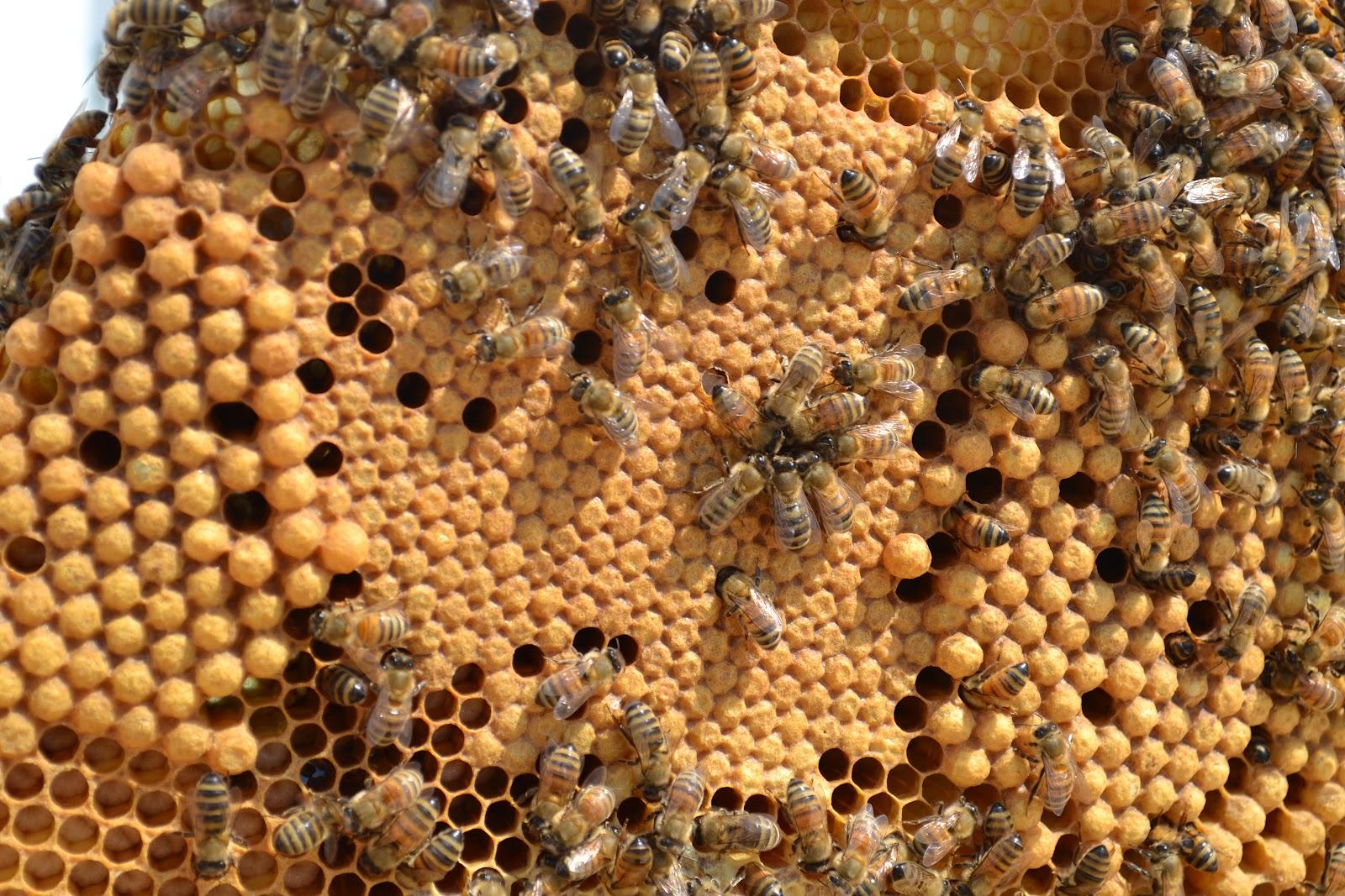 حضنة ذكر النحل و دورة حياته