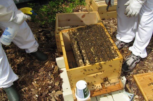 طرق ضم طوائف النحل المباشرة مساوئها و محاسنها وخطوات تنفيذها