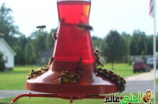 تغذية طوائف النحل تختلف أنواعها وتركيبتها وكميتها تبعا للغرض المقصود منها