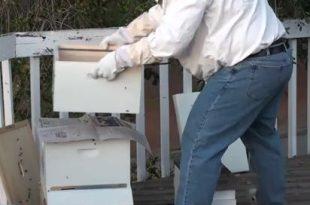 طرق ضم طوائف النحل المباشرة بورق الجرائد محاسنها و مساوئها