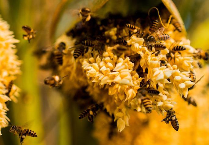 تغذية طوائف النحل كاندي فغبار الطلع المصدر البروتيني الوحيد المعتمد في غذاء النحل