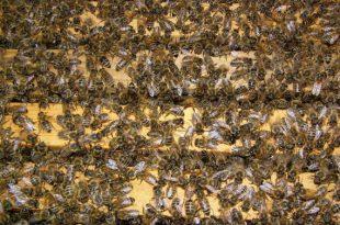 تطريد النحل بسبب ازدحام الخلية