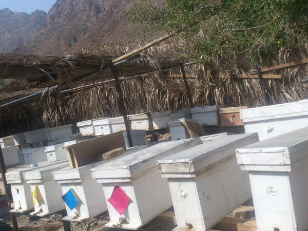 تقسيم النحل الصناعي نواة من عدة طوائف